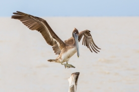 Pelicans, Cormorants & Frigatebirds
