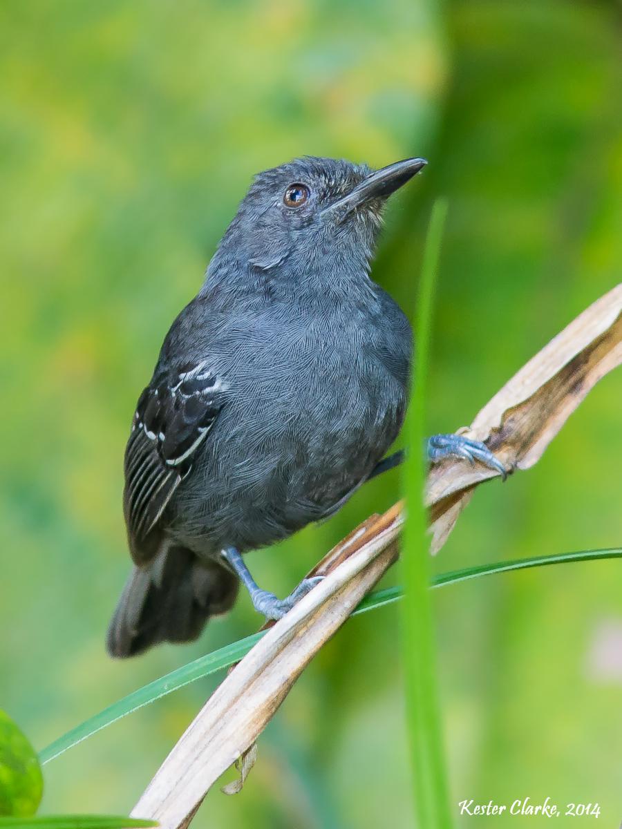 Category:Antbirds | All Birds Wiki | FANDOM powered by Wikia