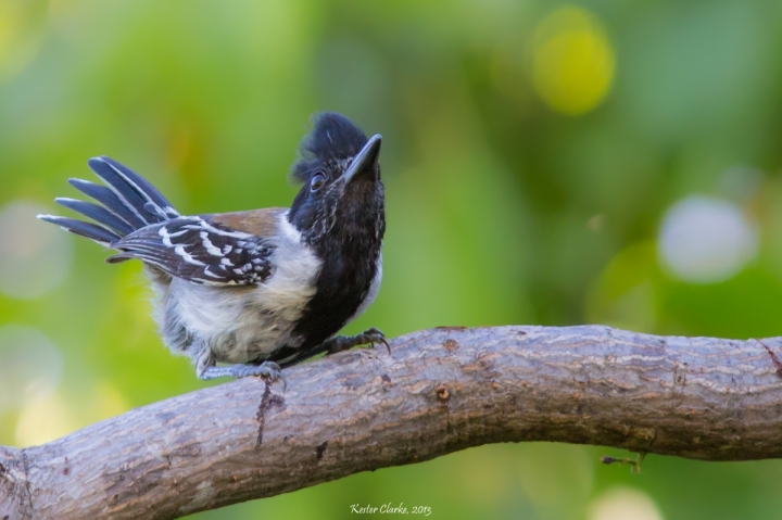 Black-crested Antshrike (Sakesphorus canadensis)