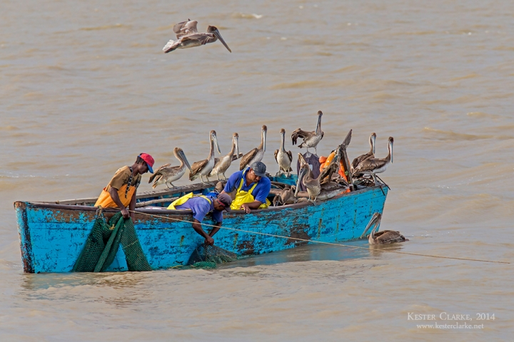 Fishermen checking their nets on the Demerara River with a pod of Brown Pelicans (Pelecanus occidentalis).