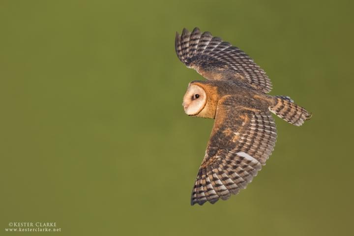 Dorsal view of a Barn Owl (Tyto alba)