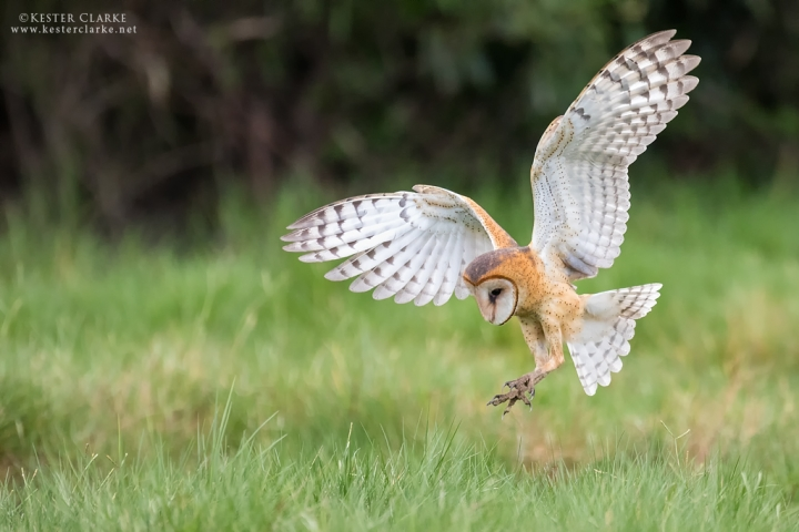 Barn Owl (Tyto alba)  hunting in a field near the Enmore Seawall, Guyana.