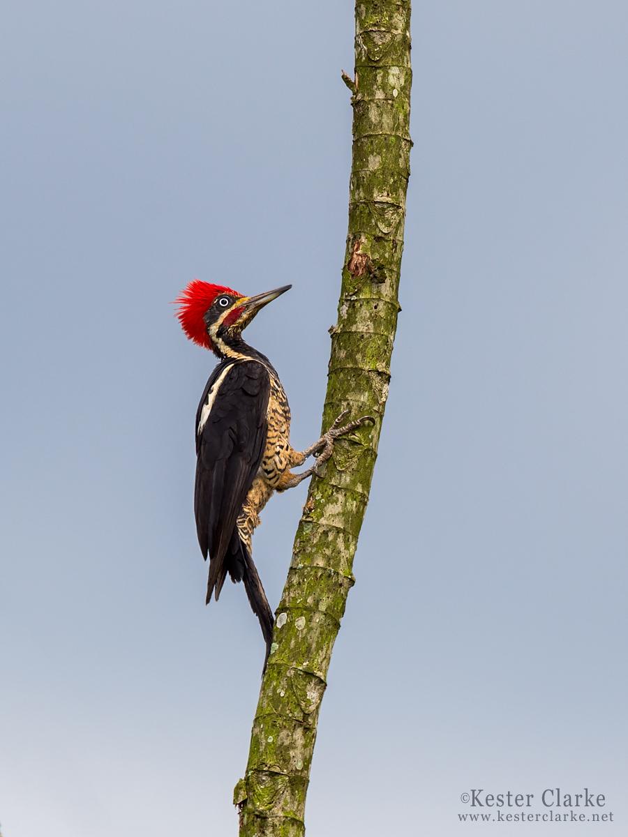 IMAGE: http://www.kesterclarke.net/wp-content/uploads/2014/03/IMG_0670_-Lineated-Woodpecker-Dryocopus-lineatus_WEB2.jpg
