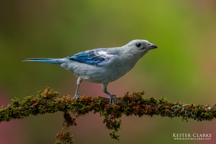 Blue-gray Tanager (Thraupis episcopus), also called the Blue Saki in Georgetown, Guyana.