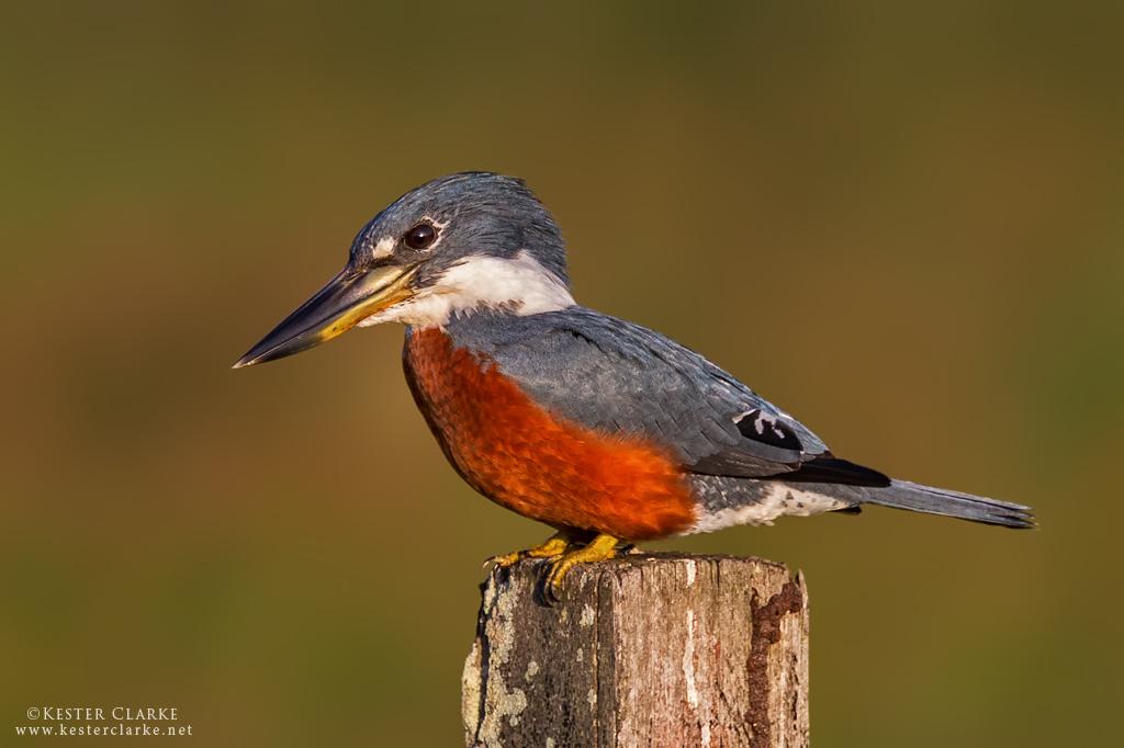 IMAGE: http://www.kesterclarke.net/wp-content/uploads/2014/03/IMG_4984_Ringed-Kingfisher-Megaceryle-torquata_WEB.jpg
