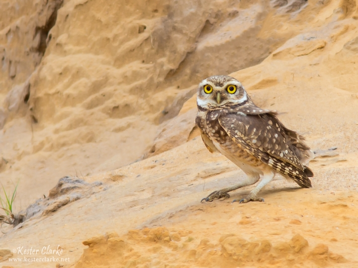 Burrowing Owl (Athene cunicularia) near the Linden/Soesdyke Highway.