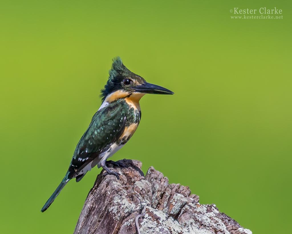 IMAGE: http://www.kesterclarke.net/wp-content/uploads/2014/03/IMG_5353_Green-Kingfisher-Chloroceryle-americana_WEB.jpg