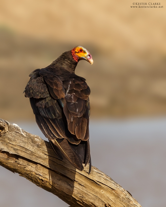 Lesser Yellow-headed Vulture (Cathartes burrovianus) in Abary, Mahaica-Berbice.