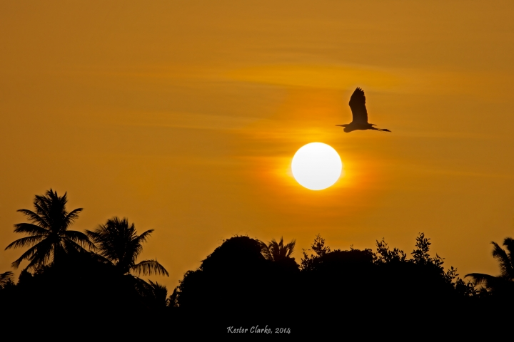 Great Egret in flight, silhouetted