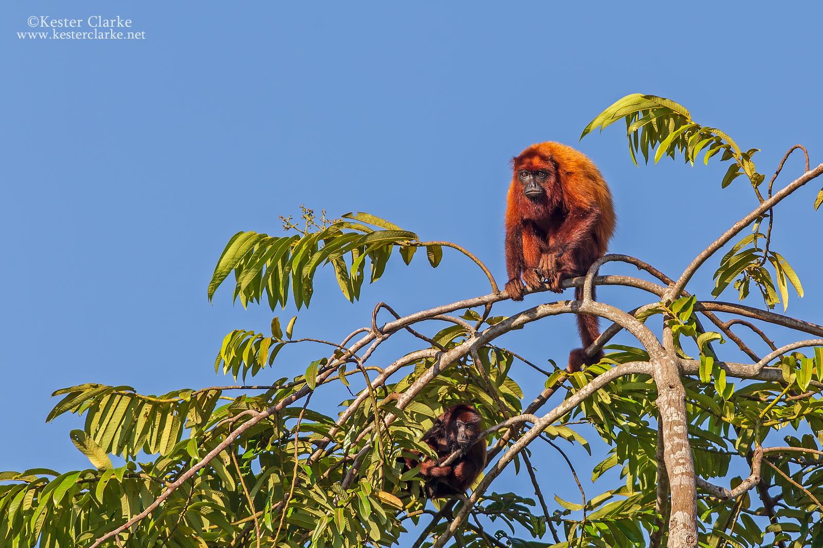 Guianan Red Howler (Alouatta macconnelli) sitting at the top of canopy along the Mahaica River.