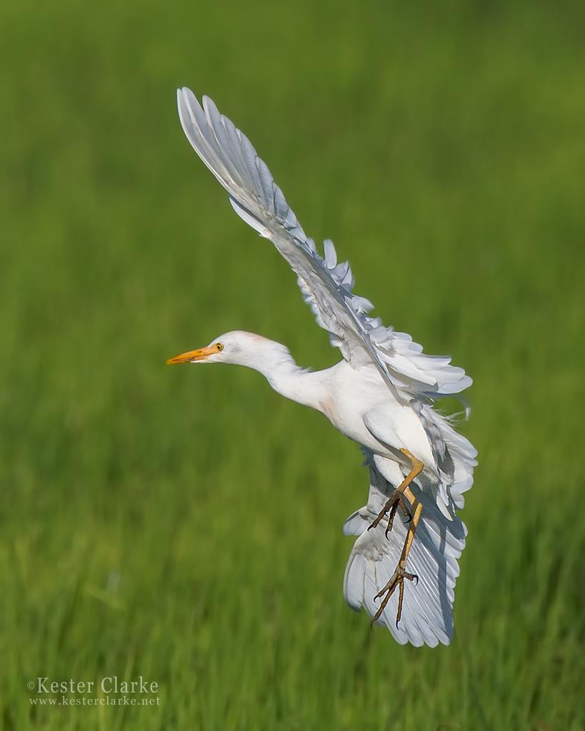 IMAGE: http://www.kesterclarke.net/wp-content/uploads/2014/03/IMG_6349_Cattle-Egret-Bubulcus-ibis_WEB.jpg