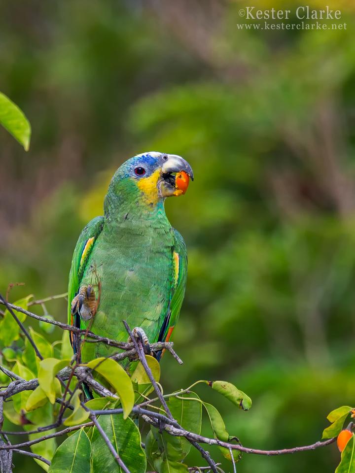 IMAGE: http://www.kesterclarke.net/wp-content/uploads/2014/03/IMG_8142_Orange-winged-Amazon-Amazona-amazonica_WEB.jpg