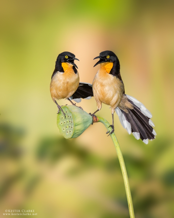 A pair of Black-Capped Donacobius doing their morning duet in the Botanical Gardens,  Georgetown.