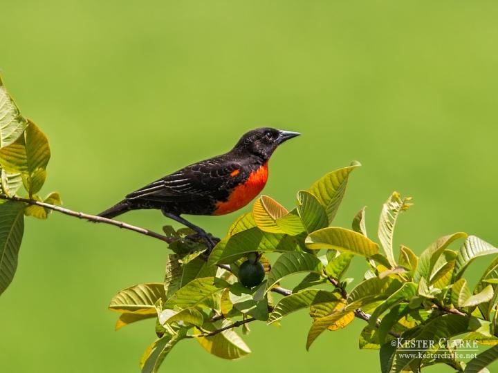 Red-breasted Blackbird (Sturnella militaris) in Queenstown, Pomeroon-Supenaam, Guyana.