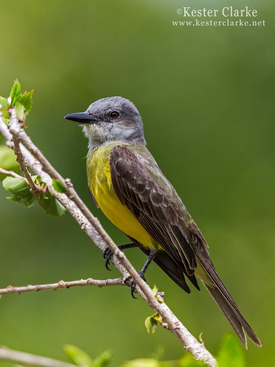 IMAGE: http://www.kesterclarke.net/wp-content/uploads/2014/03/IMG_9977_Tropical-Kingbird-Tyrannus-melancholicus_WEB.jpg
