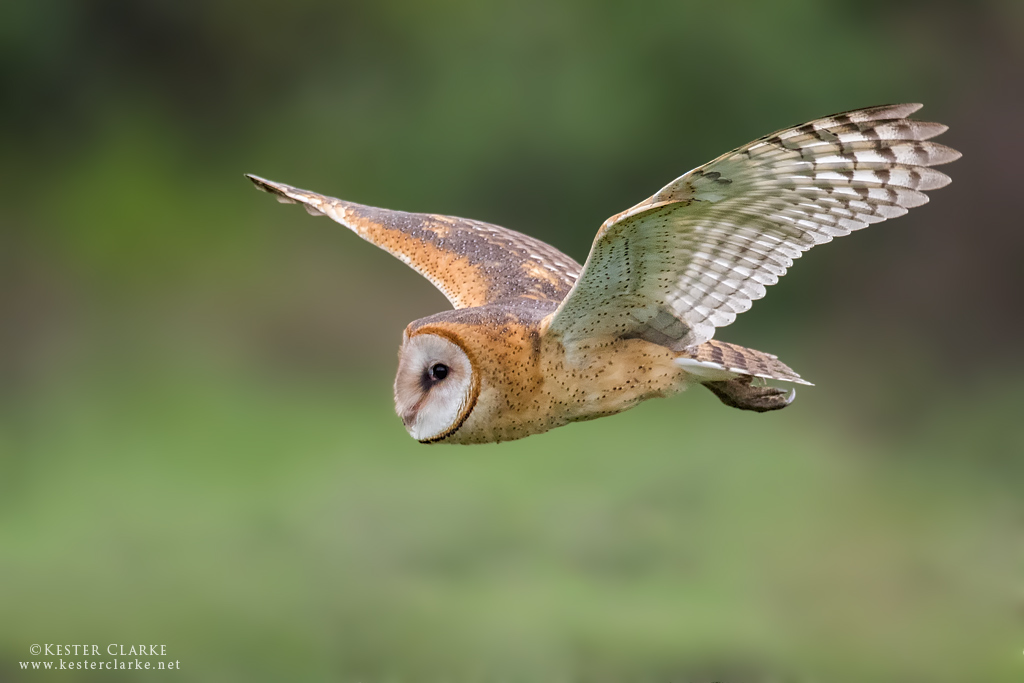 Barn owl kester clarke wildlife photography for Food bar owl