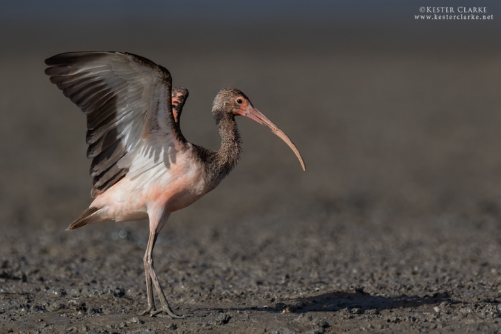 Immature Scarlet Ibis does wing flap after preening. Ogle mudflats, Guyana.