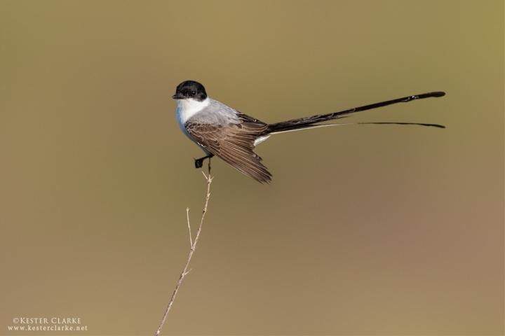Fork-tailed Flycatcher.  Kuru Kururu, Guyana.
