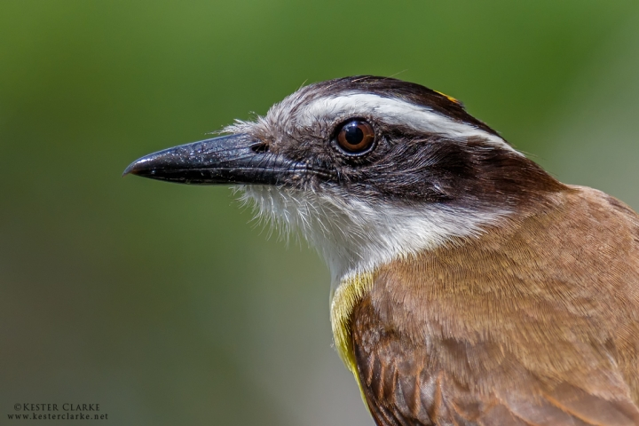 Great Kiskadee Portrait, Georgetown