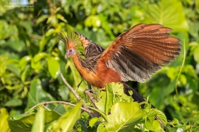 Birds of Guyana