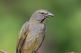 Saltators & Cardinals