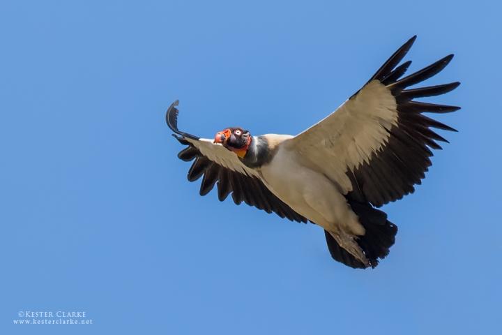 King Vulture, Karasabai, Guyana.