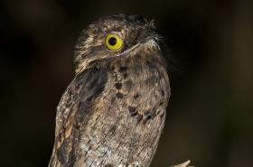 Oilbird, Nightjars & Potoos