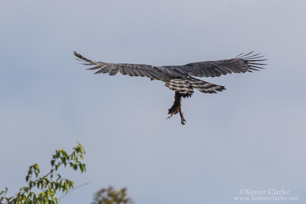 Harpy Eagle Monkey