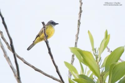 Sulphury Flycatcher